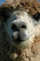 Up Close and Personal Alpaca